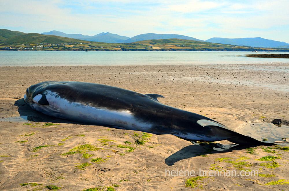 DSC_4042 whale ventry beach