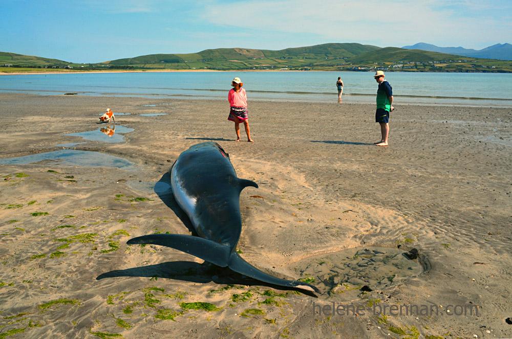 DSC_4046 whale ventry beach