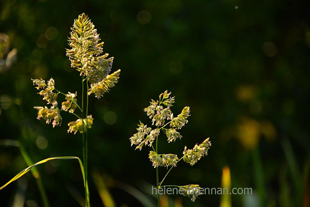 DSC_4098 grass