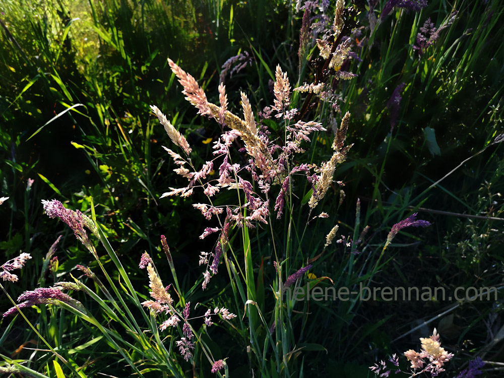 grasses_192341