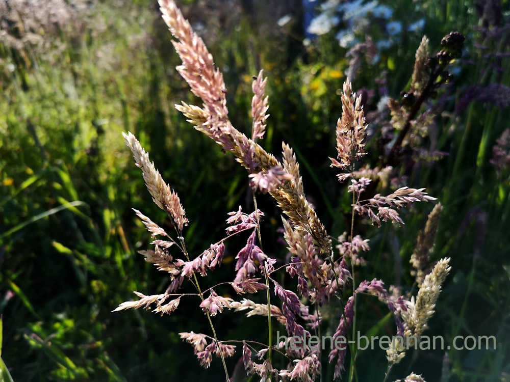 grasses_192437