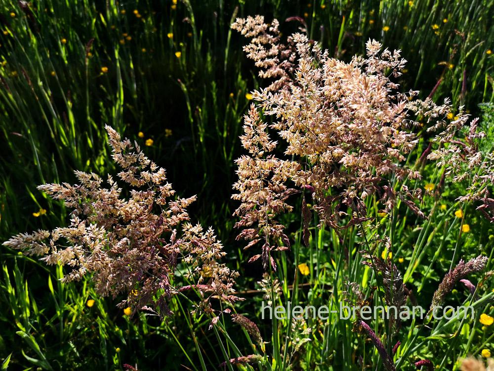 grasses_192553