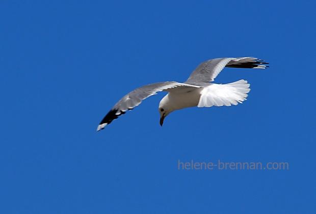 gull_4453