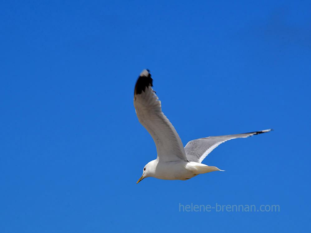 gull_4495