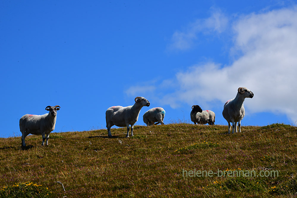Brandon sheep_5258