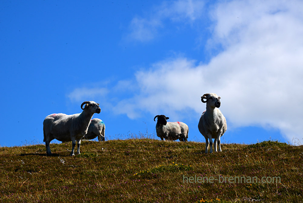 Brandon sheep_5260
