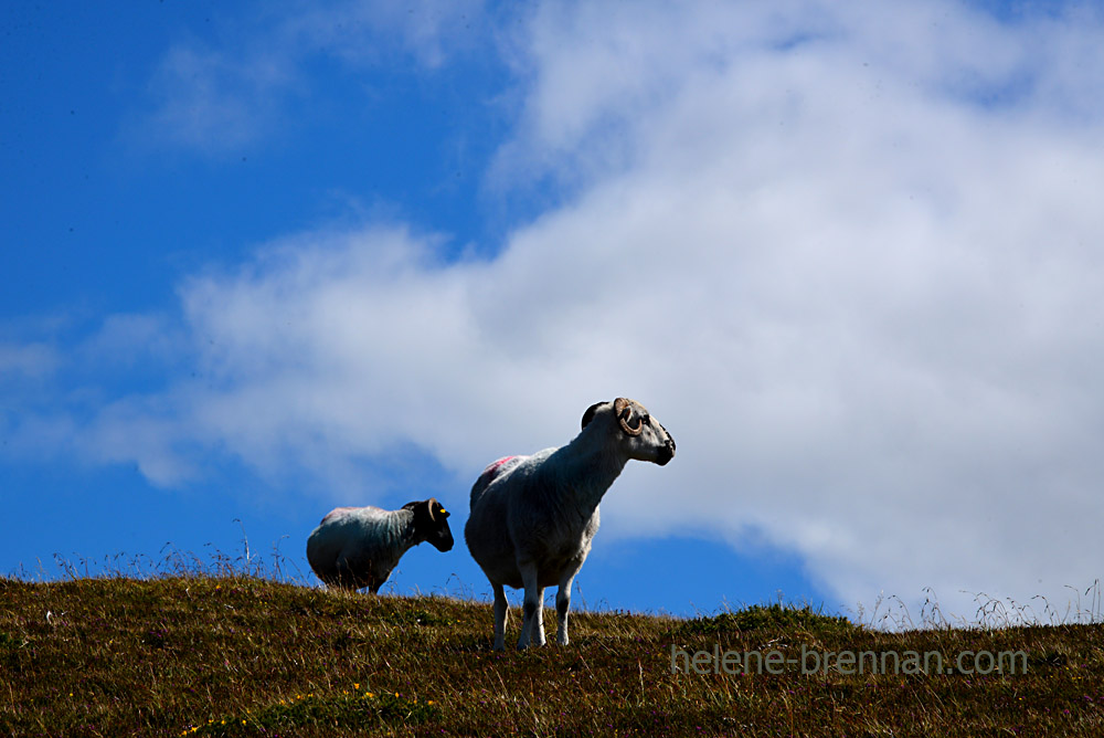 Brandon sheep_5262