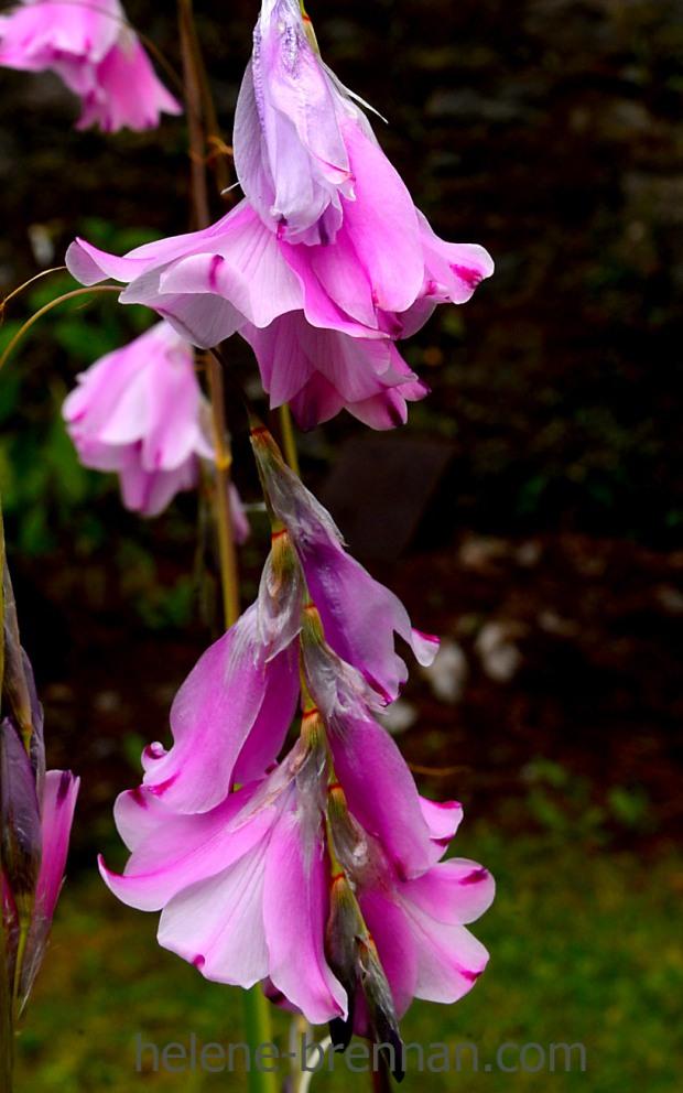 muckross gardens_4791