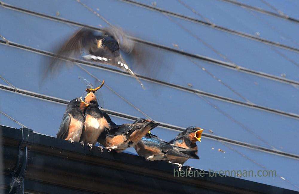 swallows_5555