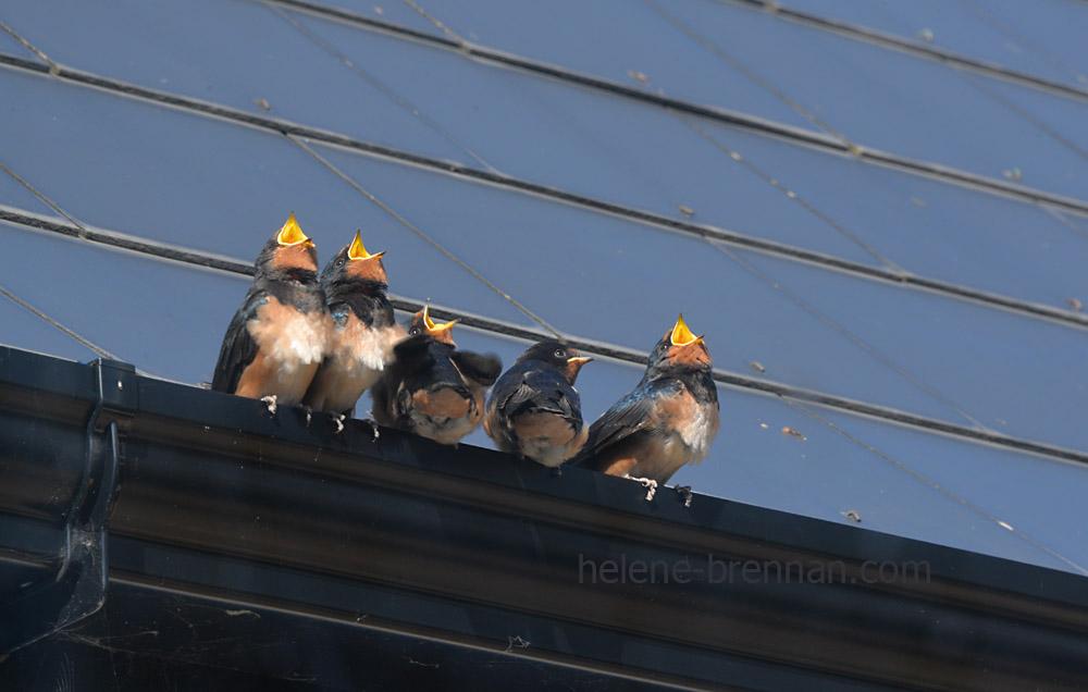 swallows_5561