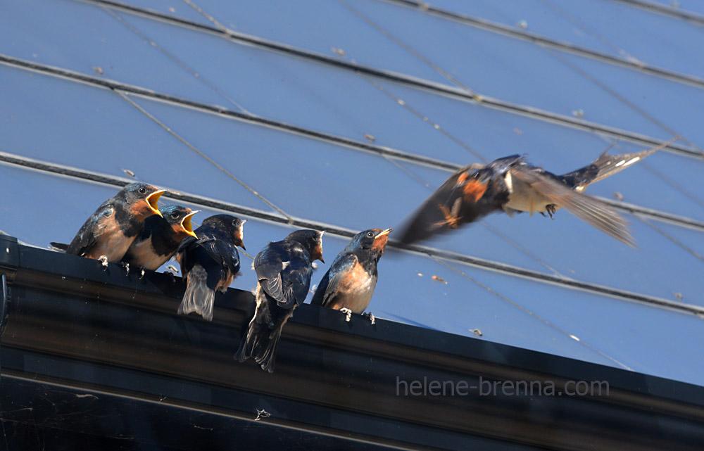swallows_5562