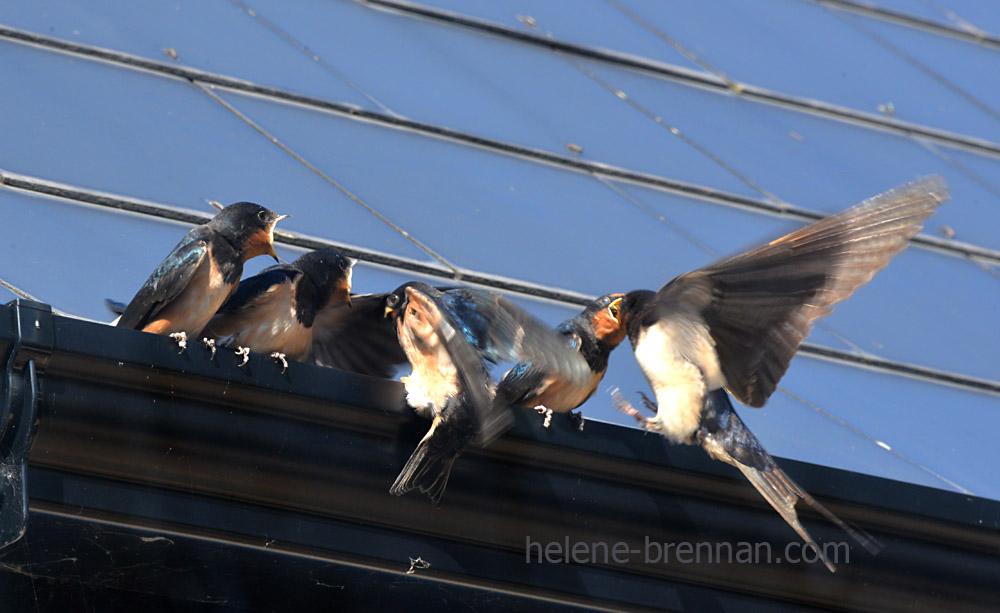 swallows_5568