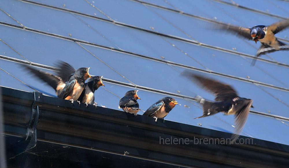 swallows_5569