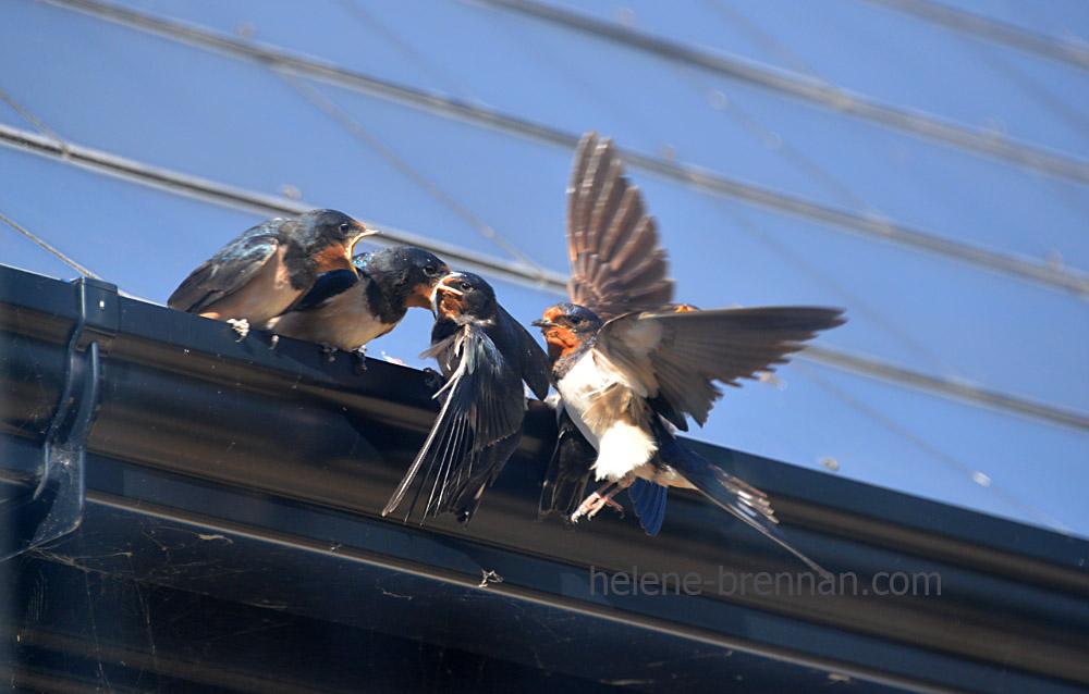 swallows_5573