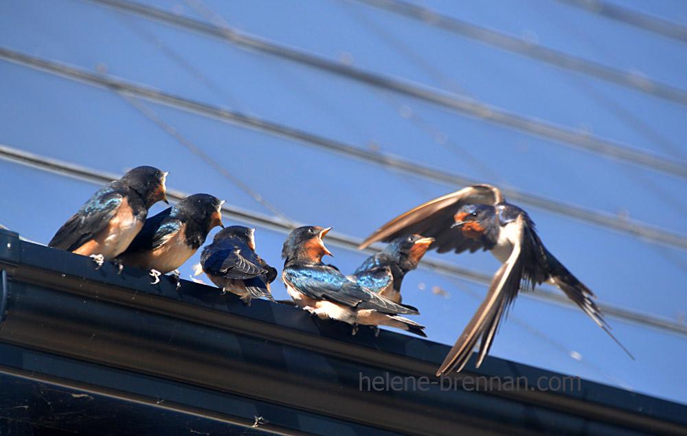 swallows_5575