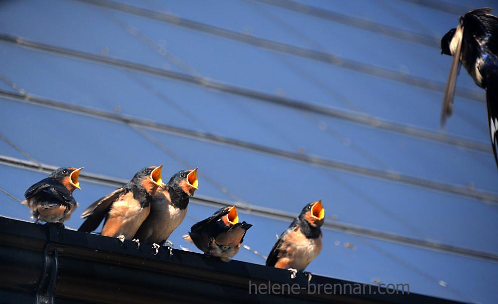 swallows_5576