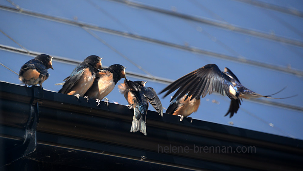 swallows_5577