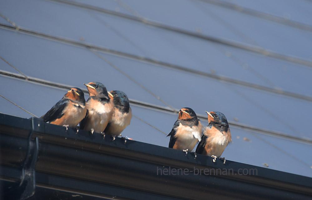 swallows_5593