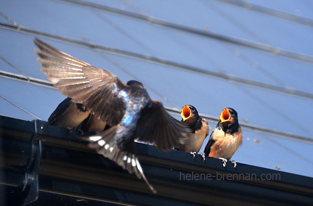 swallows_5596