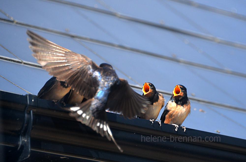 swallows_5596
