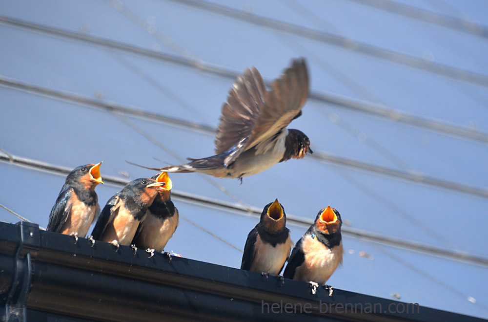 swallows_5598