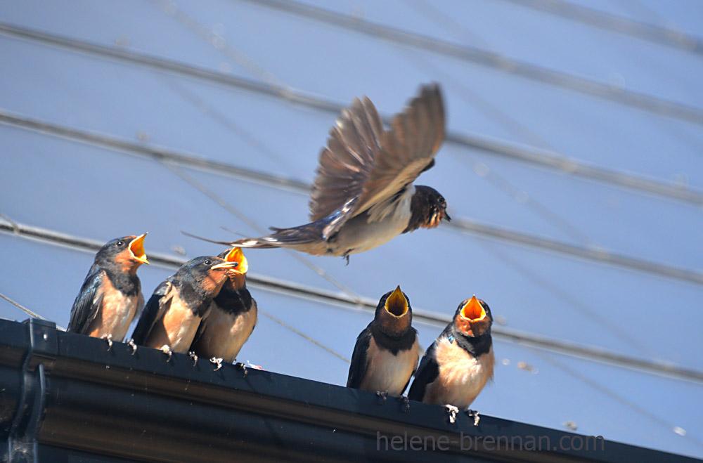 swallows_5598