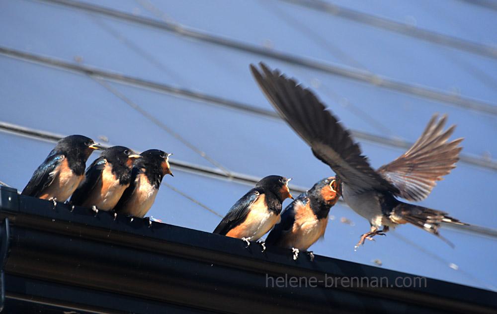 swallows_5600