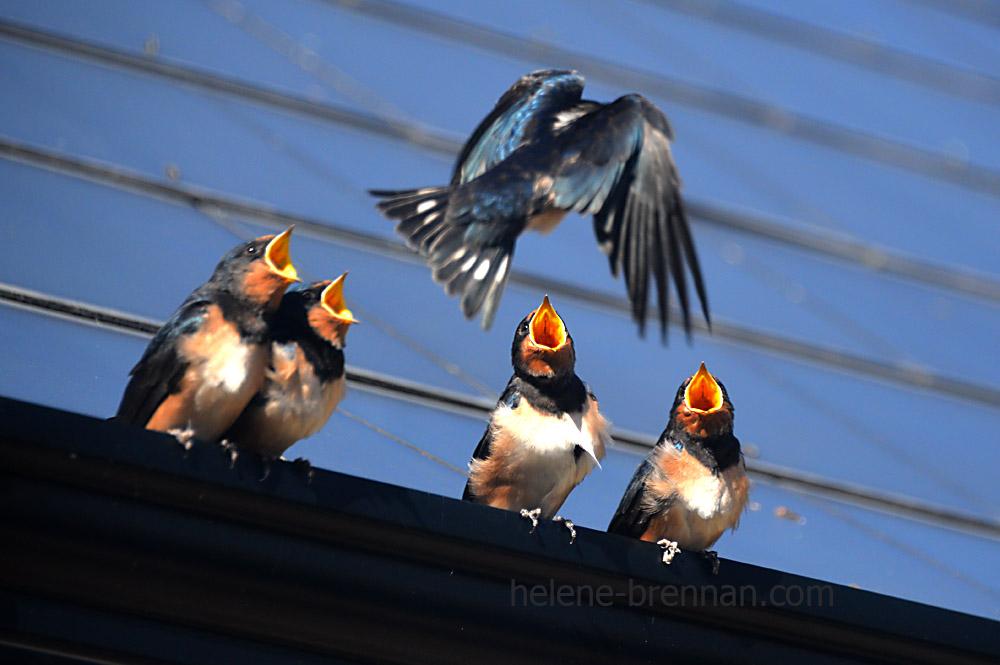 swallows_5628