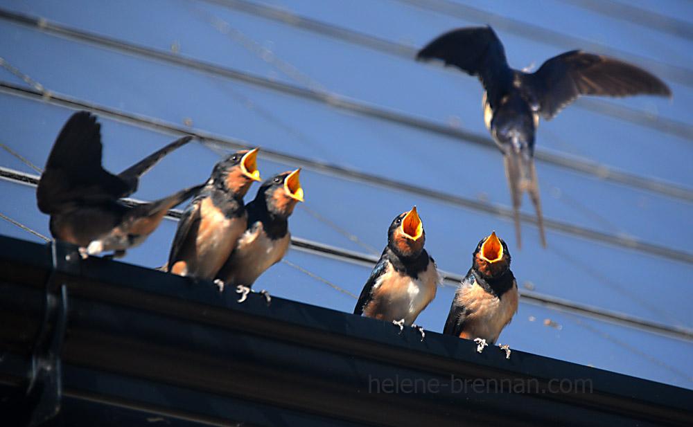 swallows_5638