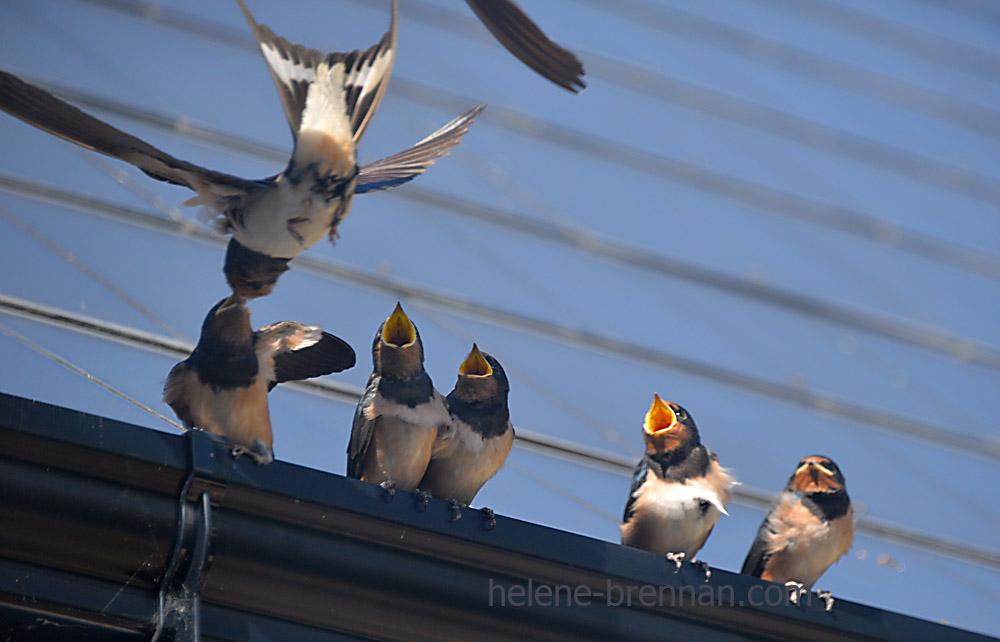 swallows_5644