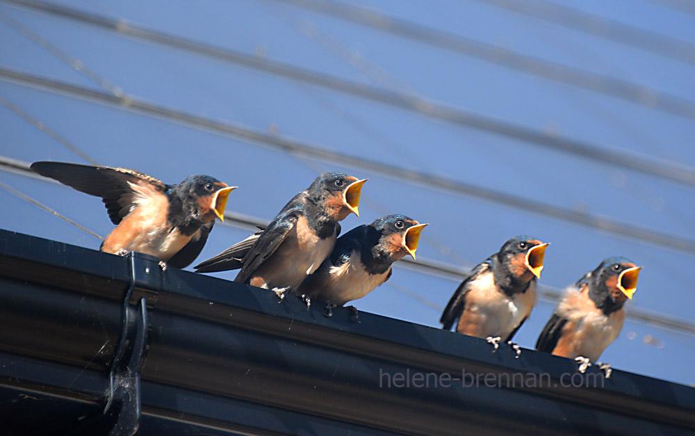 swallows_5646