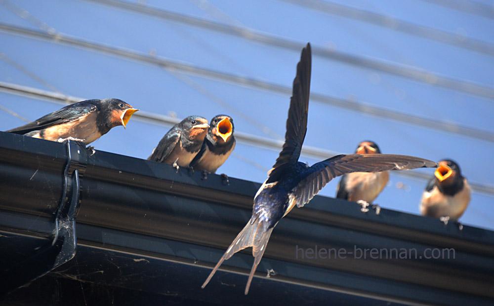 swallows_5655
