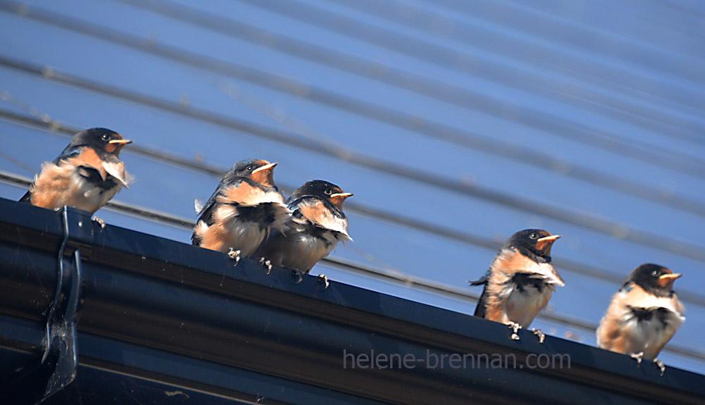 swallows_5661