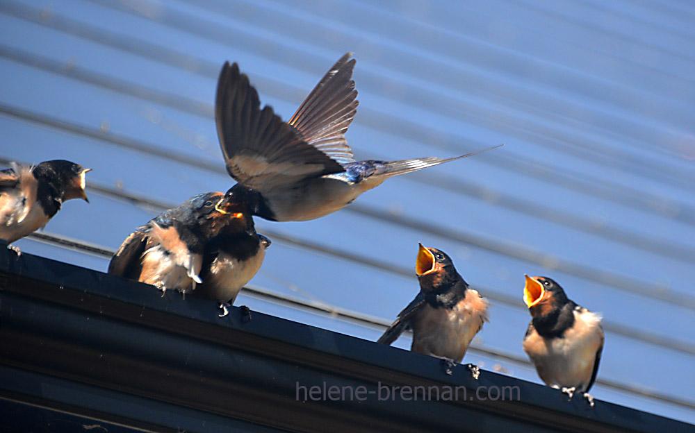 swallows_5669