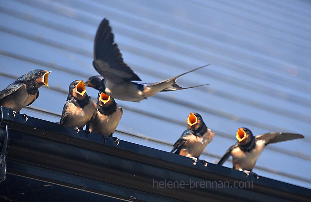 swallows_5680