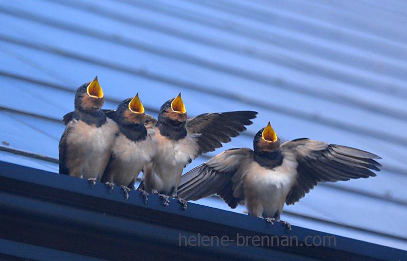 swallows_5694