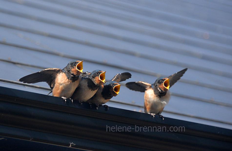 swallows_5708