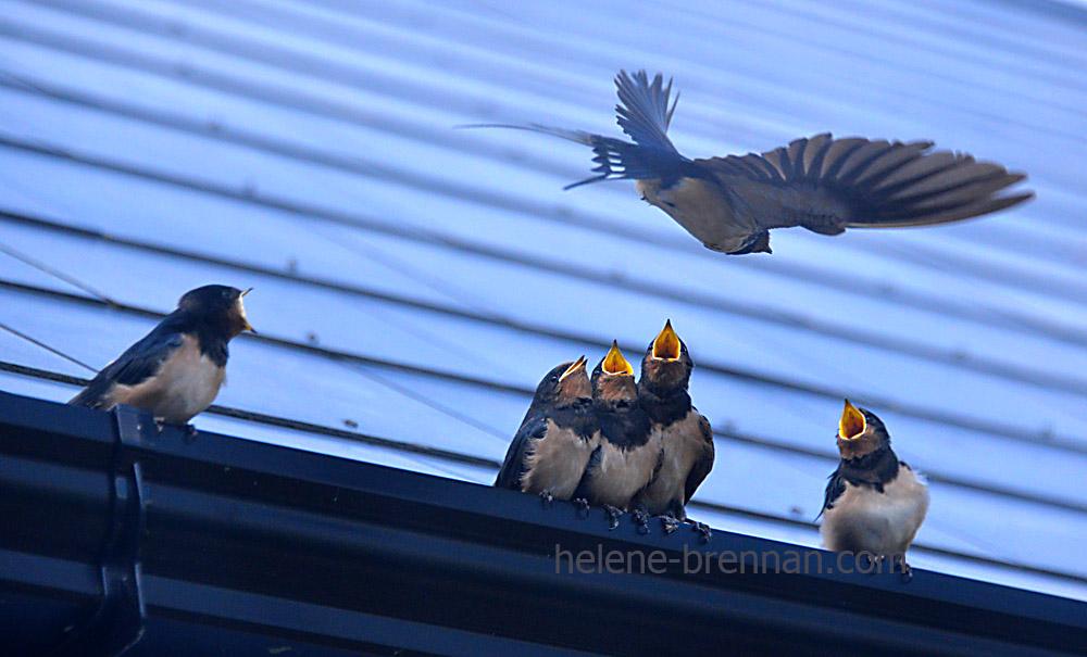 swallows_5716