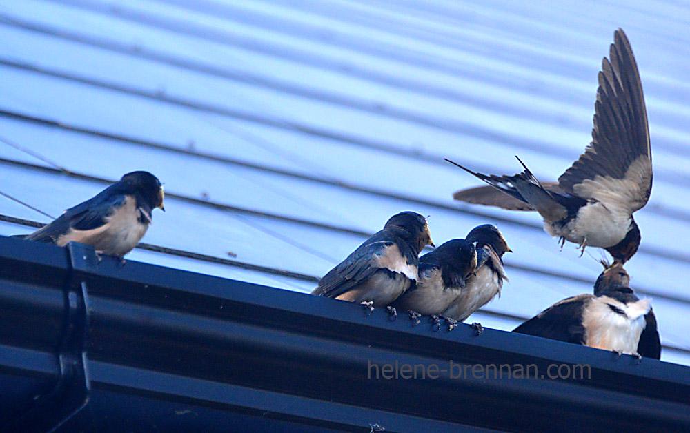 swallows_5724