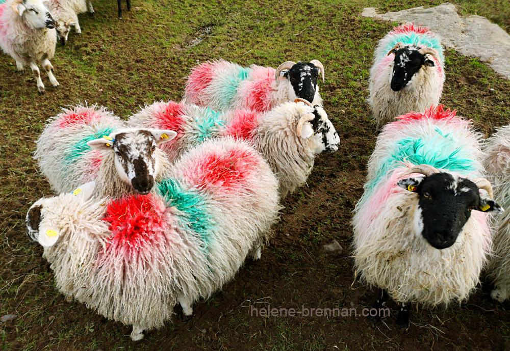 sheep_130413