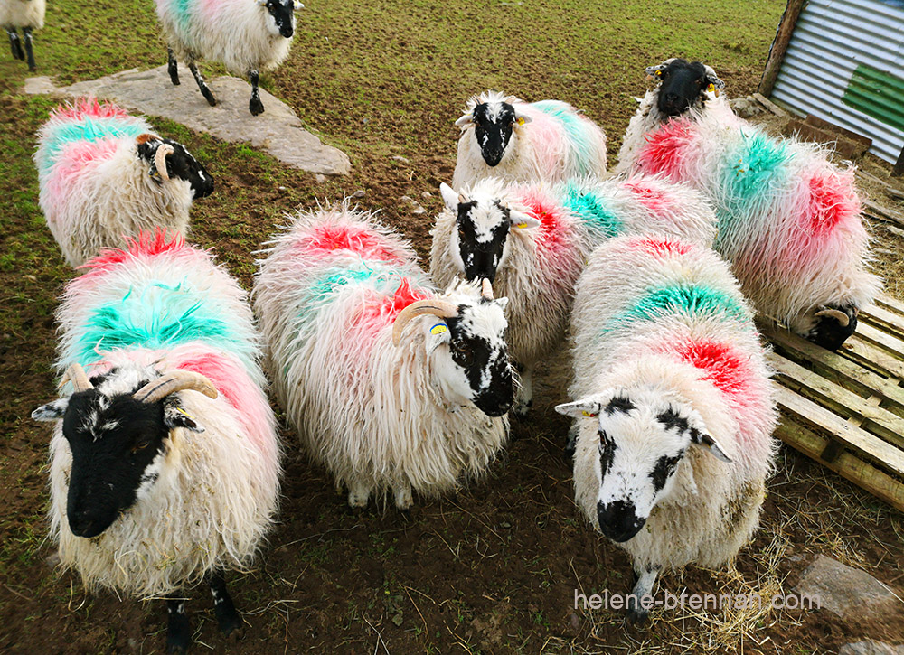 sheep_130417