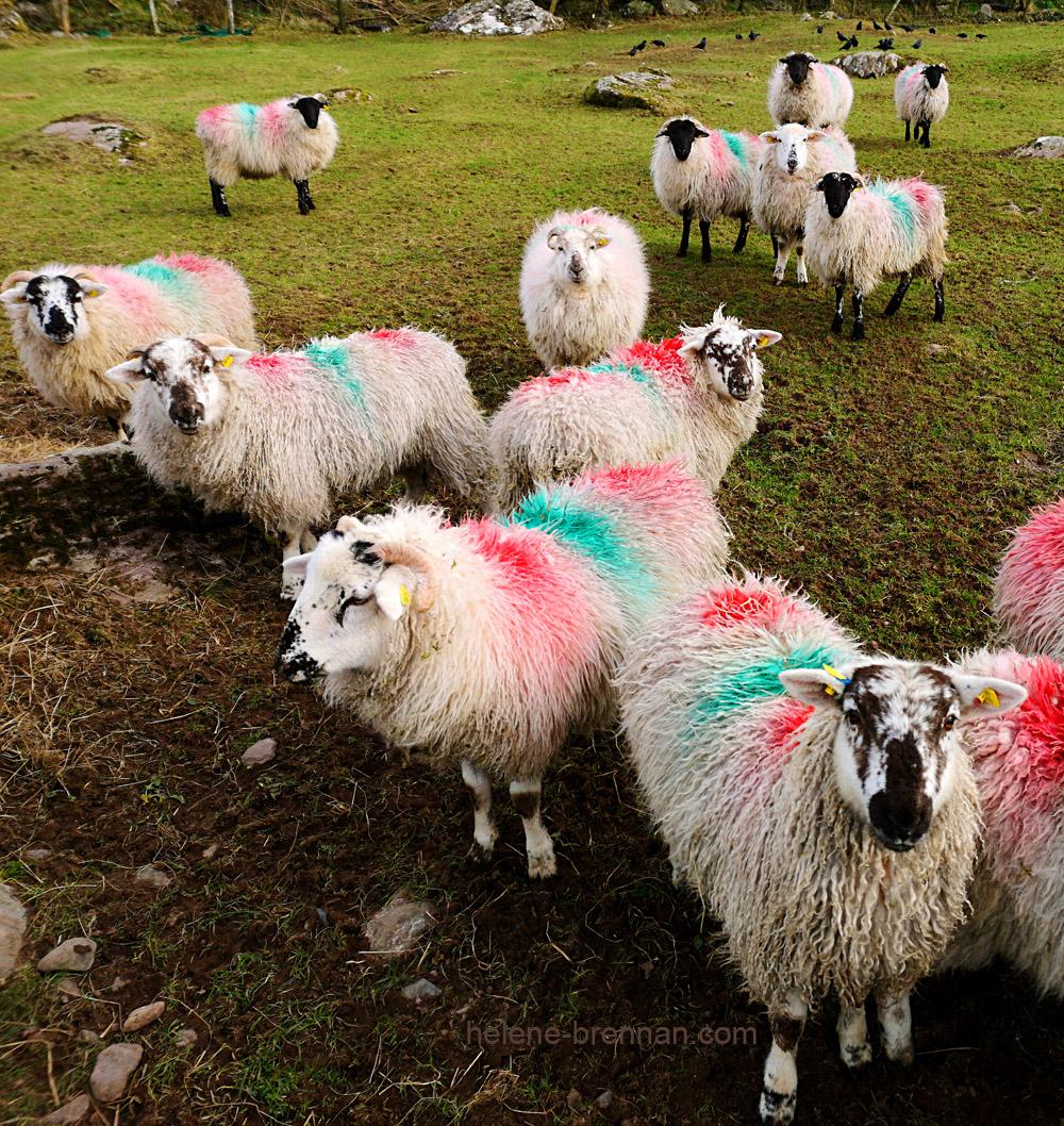 sheep_130423-1