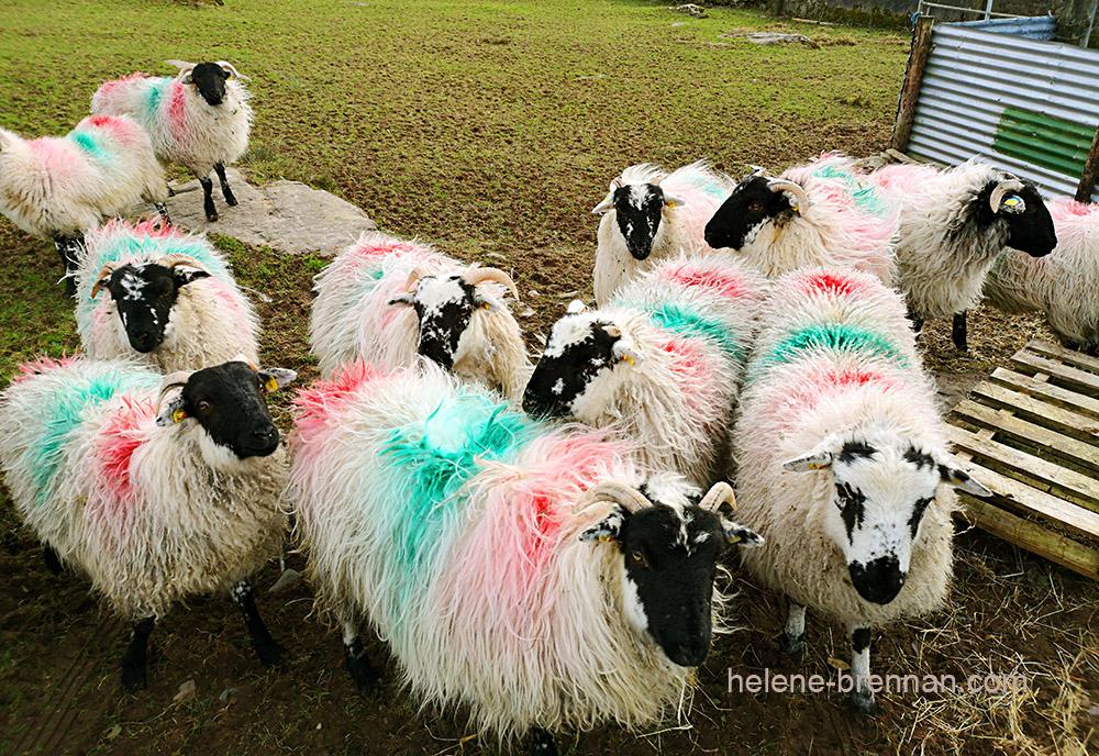 sheep_130430