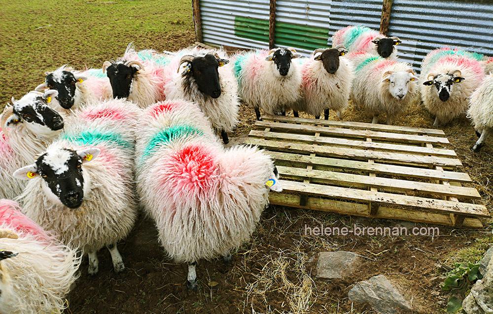 sheep_130440